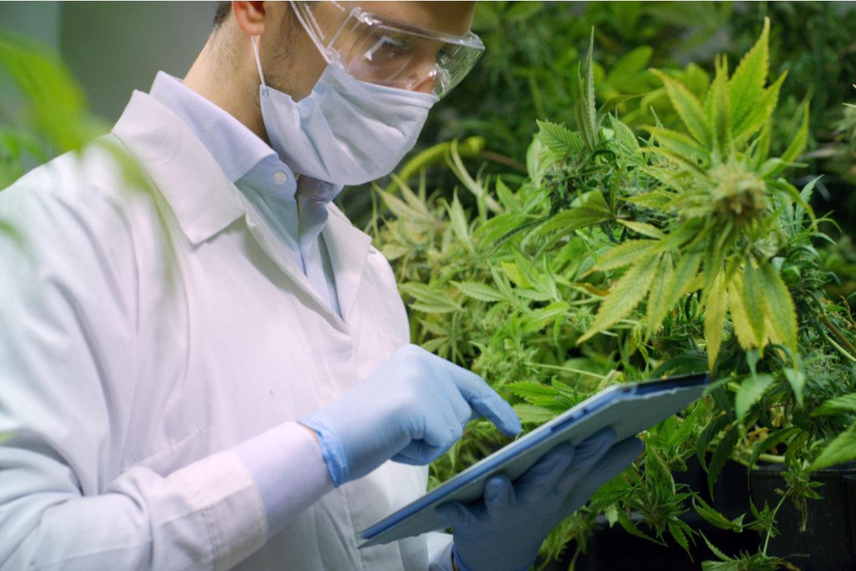 A cannabis researcher